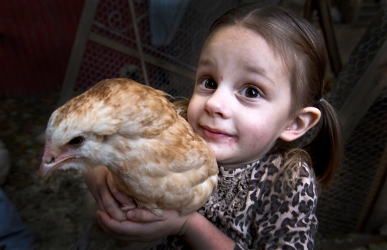 --Lifestyle 2nd Place: Joe Fudge/Daily Press--The city is making the this family get rid of their backyard chickens they have had since the end of the summer. Lauren Rash 3 picks up her chicken that she loves.