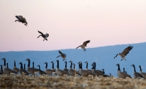 --Pictorial HM: Nikki Fox/Daily News-Record--A flock of Canadian geese settle down for the evening north of a Harrisonburg, Va., cornfield as Massanutten Mountain looms in the background on Feb. 11, 2014.