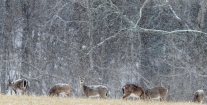 3rd Place Environment/Nature: Rob Ostermaier, Daily Press--A large group of deer graze as a steady snow comes down on a field near Endview Plantation in Newport News. Deer populations near Newport News Park and the plantation have exploded because no hunting is allowed and a lack of natural predators.