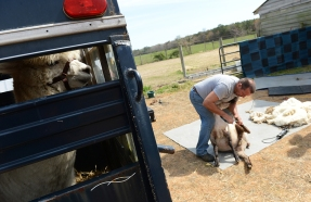 An alpaca waits in a trailer as Jay Mariacher shears one of two sheep before starting in on the alpacas at By The Bay Alpacas in Pungoteague, Va. on Thursday, March 31, 2016.