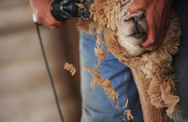 Jay Mariacher shears the face of Bristol the alpaca at By The Bay Alpacas in Pungoteague, Va. on Thursday, March 31, 2016.