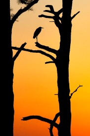2nd Place Environment: Jonathon Gruenke, Daily Press--A great blue heron rests atop a tree as the sun sets over the James River Monday evening March 21, 2016.