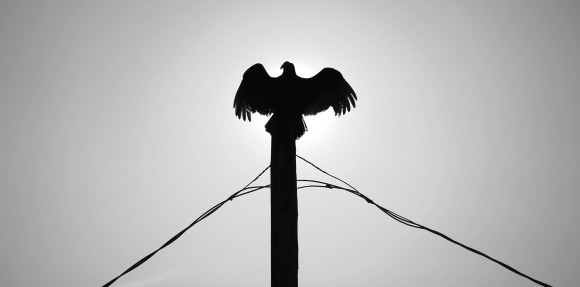 3rd Place Environment: Jay Diem, Eastern Shore News--A turkey vulture spreads its wings to sun itself atop a utility pole on Willis Wharf Road in Exmore, Va. on Wednesday morning, April 6, 2016. The region woke to frost Wednesday morning.
