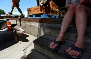 An employee with L D Amory & Company unloads a delivery truck as the potbellied pig named Pig hangs out in the shade from underneath a truck. Samantha Huff, left, from Charleston Sc., sits on the steps, watching over Pig, as the crew's longline fishing boat is unloaded in downtown Hampton. Wednesday, June 21, 2017.