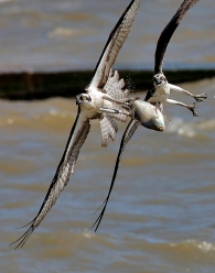Ospreys battle for a fish while flying above the James River Tuesday afternoon May 2, 2017.