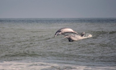Two dolphins jump from the surf as they ride a wave at the North End of Virginia Beach, Virginia, in early October.
