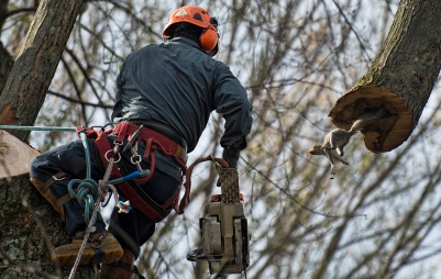 UNITED STATES - November 21, 2017: A tree climber got more then he bargained when a grey squirrel came flying out of a limb during a tree removal in Bluemont. Tino's Tree Service crew was taking down a towering silver maple that was old and in bad shape and needed to come down for the safety of the structure.