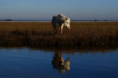 "HM Place Feature: Matt McClain, Washington Post---A wild pony is seen at Chincoteague National Wildlife Refuge on Wednesday December 19, 2018 in Accomack County, VA. Several of the ponies at Chincoteague National Wildlife Refuge have contracted ""swamp cancer"" or pythiosis."